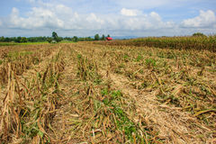 在农田的玉米收获 库存照片