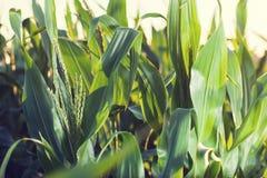 在农田的玉米 免版税库存照片