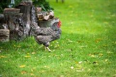 在农田的自由放养的多米尼克鸡 免版税库存照片