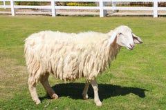 在农田的绵羊 免版税图库摄影