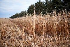 在农田被收获的玉米 图库摄影