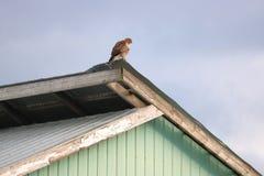 在农舍的北苍鹰 免版税库存图片