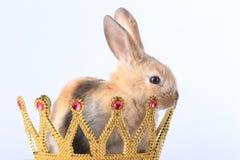 在冠的兔子 库存图片