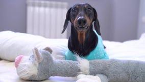 在冠的滑稽的狗彭布罗克角威尔士小狗,象国王,桃红色演播室背景的一位王子 股票录像