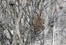 在冬天全身羽毛的一只长耳朵猫头鹰坐在密集的灌木里面 库存图片