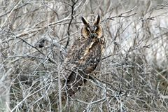 在冬天全身羽毛的一只长耳朵猫头鹰坐密集的灌木 免版税图库摄影