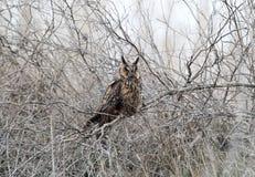 在冬天全身羽毛的一只长耳朵猫头鹰坐密集的灌木 免版税库存图片