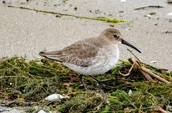 在冬天全身羽毛的滨鹬在海滩 库存图片