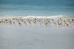 在冬天午睡的矶鹞群在佛罗里达锁上海滩 免版税库存照片