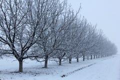 在冬天右侧的核桃树 库存照片