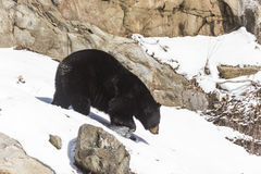 在冬天场面的一只黑熊 库存照片