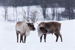 在冬天场面的北美驯鹿 库存照片