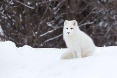 在冬天场面的白狐 库存照片