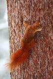 在冬天场面的逗人喜爱的红松鼠与在树干的雪 库存图片