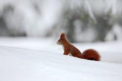 在冬天场面的逗人喜爱的红松鼠与雪在背景中弄脏了森林 免版税图库摄影