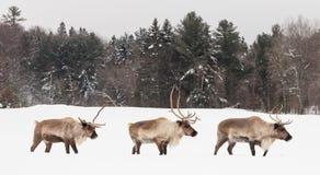 在冬天场面的Cariboui 免版税库存图片