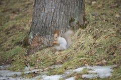 在冬天外套的灰鼠 免版税库存照片