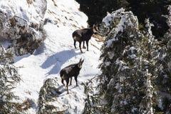 在冬天外套的羚羊 库存照片