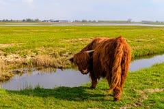在冬天外套的高地母牛在水的边缘 免版税图库摄影