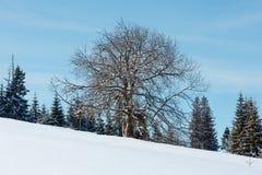 在冬天多雪的山高原小山倾斜的孤立大树 免版税图库摄影