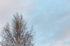 在冬天天空背景的桦树  库存照片