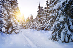 在冬天太阳光的积雪的树 图库摄影