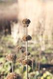 在冬天太阳的变干的头状花序 免版税图库摄影