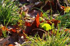 在冬天太阳的叶子 免版税图库摄影