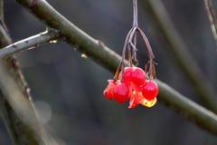 在冬天太阳的小红色莓果 免版税图库摄影