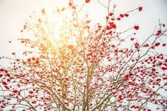 在冬天太阳的花楸浆果树 库存图片