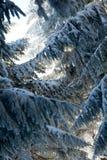 在冬天季节期间的杉木,保加利亚 免版税库存照片
