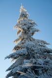 在冬天季节期间的杉木,保加利亚 库存图片