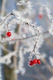 在冬天季节的红色野生浆果 免版税图库摄影