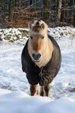 在冬天季节的马 免版税库存照片