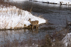 在冬天小河的白尾母鹿 库存照片