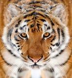 在冬天尖叉的老虎画象 库存图片