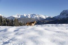 在冬天山前面的狗 免版税库存照片