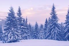 在冬天山的积雪的杉树在黄昏期间 免版税图库摄影