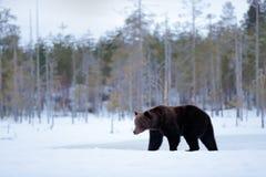 在冬天情况的熊 有动物的树森林 走在有雪和冰的湖附近的美丽的棕色哺乳动物 危险动物 免版税库存照片