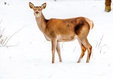 在冬天情景的小鹿 免版税库存图片