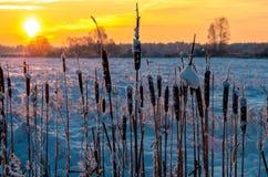 在冬天日出的香蒲 库存图片