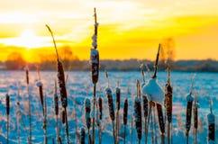 在冬天日出的香蒲 免版税库存照片
