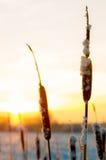 在冬天日出的香蒲 免版税库存图片