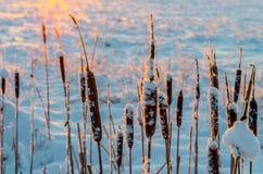 在冬天日出的香蒲 库存照片