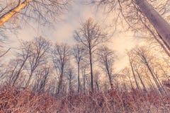 在冬天日出的高大的树木 免版税库存图片
