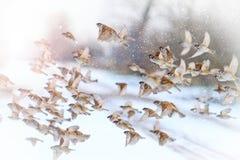 在冬天晴天飞行的美丽的鸟 库存照片