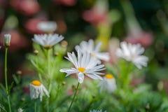 在冬天期间五颜六色的花在草甸在清莱,开花在山麓小丘 库存图片