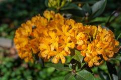 在冬天期间五颜六色的花在草甸在清莱,开花在山麓小丘 图库摄影