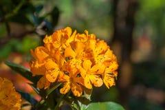 在冬天期间五颜六色的花在草甸在清莱,开花在山麓小丘 免版税库存照片