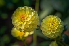 在冬天期间五颜六色的花在草甸在清莱,开花在山麓小丘 免版税图库摄影